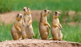Prairie Dog Relocation at Beacon Hill