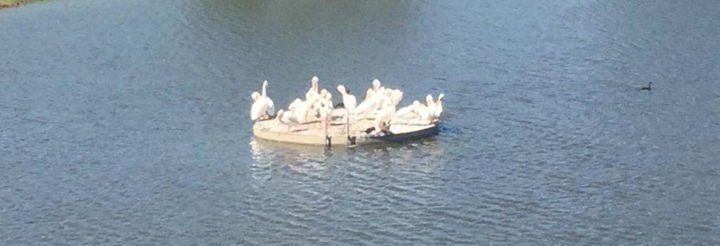 Beacon Hill White Pelicans Lake Ava Rosetta