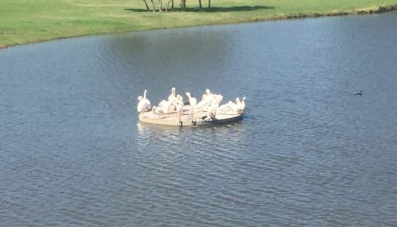 Beacon Hill White Pelicans Lake Ava Rosetta